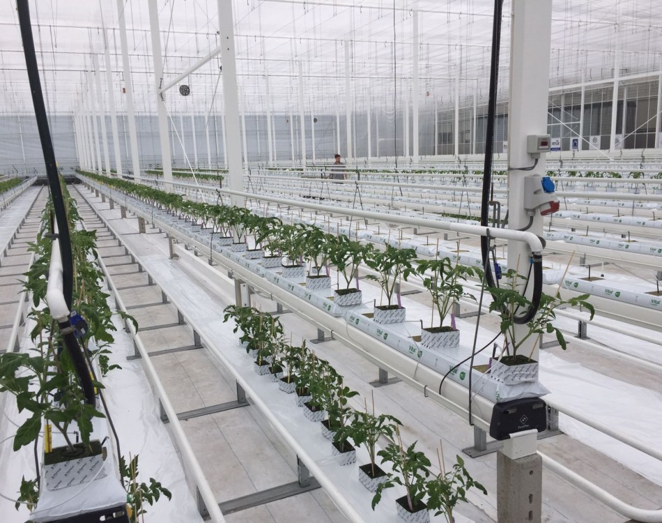 Planten Trial Center Tomato