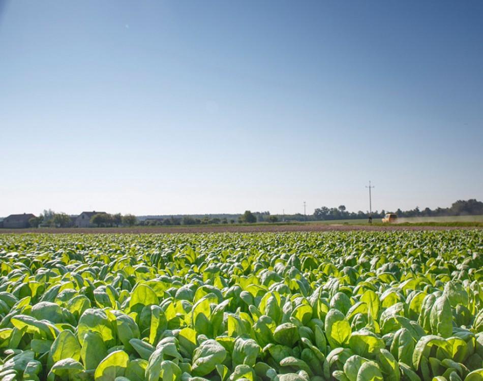 Spinach field of Rijk Zwaan in Poland